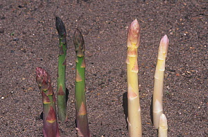 Chlorophyll in regular Asparagus plants on the left and bleached Asparagus plants on the right caused by the lack of sunlight.  -  Visuals Unlimited