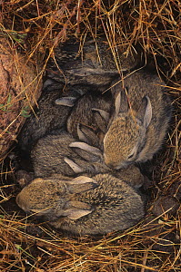 Desert Cottontail Rabbit young in their nest (Sylvilagus audubonii), California, USA. - Visuals Unlimited