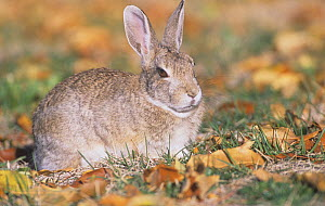 Mountain Cottontail Rabbit (Sylvilagus nuttallii), Rocky Mountains, North America.  -  Visuals Unlimited