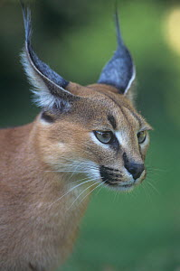 Caracal face (Caracal caracal) Namibia, Africa. - Visuals Unlimited