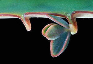 Close-up of a Kalanchoe leaf showing a plantlet being produced asexually that will fall and take root. - Visuals Unlimited