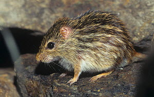 Zebra Mouse (Lemniscomys barbarus), Central Africa. - Visuals Unlimited