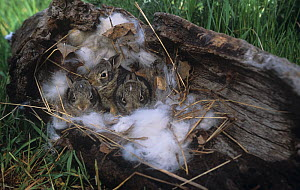 Young Eastern Cottontails in a nest in a hollow log (Sylvilagus floridanus), Minnesota, USA.  -  Visuals Unlimited