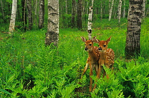 White-tailed Deer fawns among ferns in an Aspen forest (Odocoileus virginianus), Minnesota, USA. - Visuals Unlimited