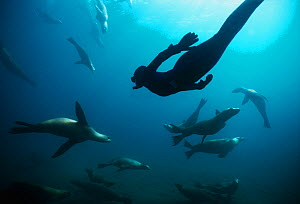 Free diver swimming amongst Californian sealions (Zalophus californianus) Anacapa Island, California, Pacific Ocean Model released Model released. - Jeff Rotman