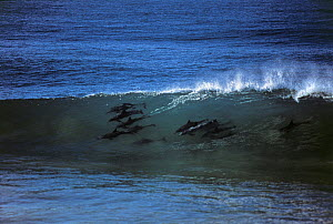Group of Bottlenose dolphin (Tursiops truncatus) surfing on the waves, KwaZulu Natal, South Africa - Jeff Rotman