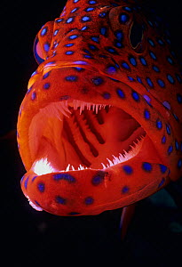 Jewel Grouper / Coral hind (Cephalopholis Miniata) with mouth open, Red Sea, Egypt - Jeff Rotman