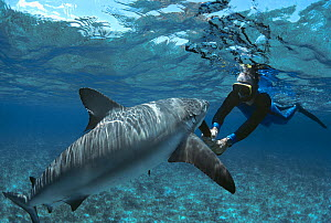 Shark expert Neal Watson fighting off a Lemon shark (Negaprion brevirostris) with a shark club, The Bahamas, Caribbean. (model released) Model released.  -  Jeff Rotman