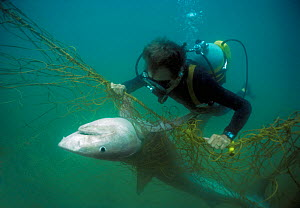Sequence 2/3 Diver with anti-shark POD examininf Tiger shark (Galeocerdo cuvier) caught in anti-shark net off Durban Beach, Natal, South Africa. Model released. - Jeff Rotman