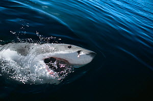 Great White shark (Carcharodon carcharias) surfacing with mouth open, Dyer Island, South Africa, Atlantic Ocean. - Jeff Rotman