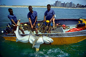 Sequence 3/3 Three metre Tiger Shark (Galeocerdo cuvier) caught in anti-shark net, being hoisted into boat by three men, Durban Beach, South Africa.  -  Jeff Rotman