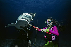 Divers remove long-line fishing hook from Tiger shark (Galeocerdo cuvier) Bahamas, Caribbean Sea. Model released. - Jeff Rotman