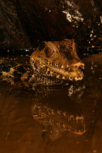 Dwarf Caiman (Paleosuchus palpebrosus) South America.  -  Visuals Unlimited