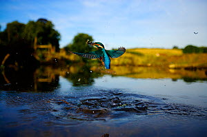 Kingfisher (Alcedo atthis) flying up out of water with fish prey, Halcyon River, England, UK. - Charlie Hamilton James