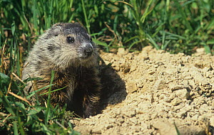 Woodchuck or Groundhog at its burrow opening (Marmota monax) Eastern USA.  -  Visuals Unlimited