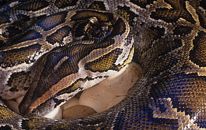 Female Burmese Python Snake (Python molurus bivittatus) incubating eggs, India. - Visuals Unlimited