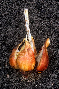 Tulip bulb (Tulipa) showing the withered apical bud stem and new buds. - Visuals Unlimited