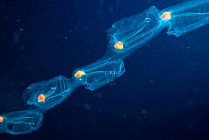 This aggregate chain of pelagic Thaliacean Tunicates or Salps (Salpa maxima) was over twenty feet long and comprised nearly one hundred individuals. Thailand.  -  Visuals Unlimited
