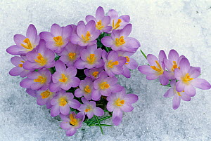 Crocus flowering in the snow. - Visuals Unlimited
