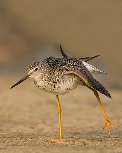 Greater Yellowlegs stretching its wings (Tringa melanoleuca) North America. - Visuals Unlimited
