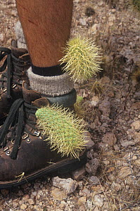 Teddybear Cholla (Opuntia bigelovii) joints stuck to human boots and socks, a method of dispersal and asexual or vegetative reproduction, Arizona, USA. The joints may grow when they are released in a...  -  Visuals Unlimited