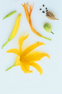 Day Lily (Hemerocallis) flower, pollinated flower, flower buds, seed capsules, and seeds. - Visuals Unlimited