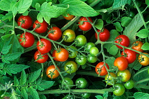 Cherry Tomatoes, 'Super Sweet 100' variety, green, ripe, and ripening.  -  Visuals Unlimited