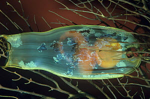 Swell Shark (Cephaloscyllium ventriosum) egg case or Mermaid's Purse with an egg and embryo.  -  Visuals Unlimited