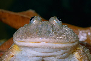 Face of Dwarf Budgett's Frog (Lepidobatrachus llanensis), showing its mouth and eyes, Paraguay and Argentina. - Visuals Unlimited