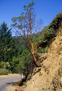 Madrone tree (Arbutus menziesii) growing on a steep road cut along a highway, illustrating geotropism or gravitotropism due to soil creep.... - Visuals Unlimited