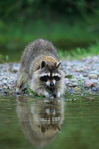 Raccoon washing its hands and food (Procyon lotor), North America. - Visuals Unlimited