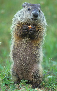 Woodchuck or Groundhog (Marmota monax) standing and holding a piece of food, North America.  -  Visuals Unlimited