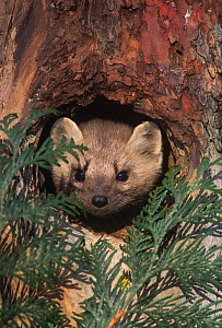 Marten (Martes americana) peering from a hole in a tree, North America. - Visuals Unlimited
