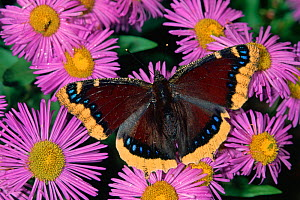 Mourning Cloak Butterfly (Nymphalis antiopa) on Daisy flowers, Family Nymphalidae, North America.  -  Visuals Unlimited