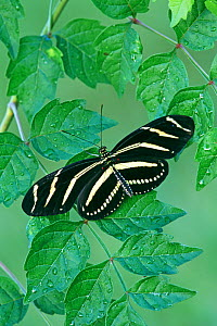 Zebra Longwing Heliconian Butterfly (Heliconius charitonius), Family Nymphalidae, Florida, USA. - Visuals Unlimited