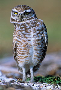 Burrowing Owl (Athene cunicularia) bobbing its head for better binocular vision, North America.  -  Visuals Unlimited