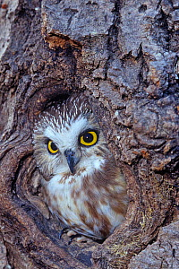 Northern Saw-Whet Owl in a tree hollow (Aegolius acadius), North America.  -  Visuals Unlimited
