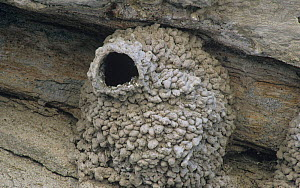 Nest of the Cliff Swallow (Petrochelidon pyrrhonota) made from pellets of mud, North America. - Visuals Unlimited
