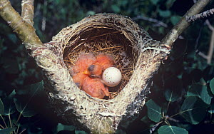 Warbling Vireo (Vireo gilvus) nest with an egg and recently hatched nestlings, North America.  -  Visuals Unlimited