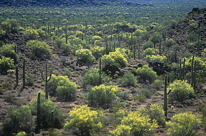 Yellow or Foothills Palo Verde trees (Cercidium microphyllum) and Giant Saguaro Cactus, Organ Pipe National Monument, Sonoran Desert, Arizona, USA. Note the spacing of the desert plants due to competi...  -  Visuals Unlimited