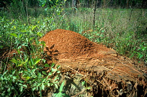 Large Red Imported Fire Ant mound (Solenopsis invicta) in a weedy field, USA. - Visuals Unlimited