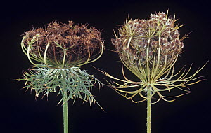 Seed heads of a Carrot on the left and Queen Anne's Lace or Wild Carrot on the right (Daucus carota) North America. - Visuals Unlimited