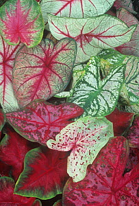 Caladium leaf variety.  -  Visuals Unlimited