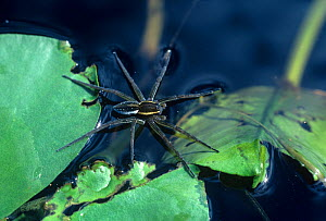 Fishing Spider (Dolomedes sexpunctatus). Note the surface tension of water with several of the spider's legs. North America.  -  Visuals Unlimited