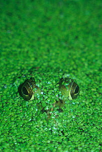 Buffrog (Rana catesbeiana) eyes and nostrils appearing just above the water level covered with Duckweed (Lemna minor) North America. - Visuals Unlimited
