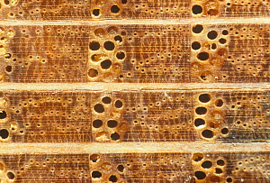 Cross-section of a Northern Red Oak stem showing growing growth rings (Quercus rubra). LM X3. - Visuals Unlimited
