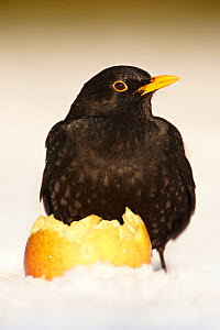 Blackbird (Turdus merula) male feeding on apple in snow, Derbyshire, UK, January  -  Chris O'Reilly