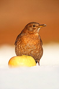 Blackbird (Turdus merula) female feeding on apple in snow, Derbyshire, UK, January - Chris O'Reilly