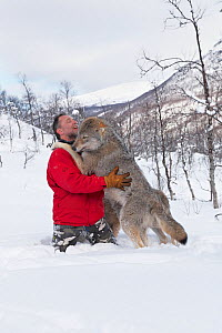 European grey wolf (Canis lupus lupus) immature, socialising with handler, Human interaction socialisation project, Wolf conservation, Scandinavia, Captive - Chris O'Reilly