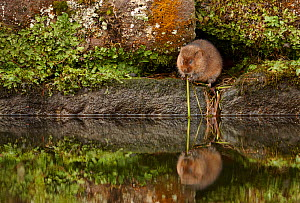Water vole (Arvicola terrestris) adult resting on a stone wall canal bank, Peak District National Park, Derbyshire, UK, November  -  Chris O'Reilly